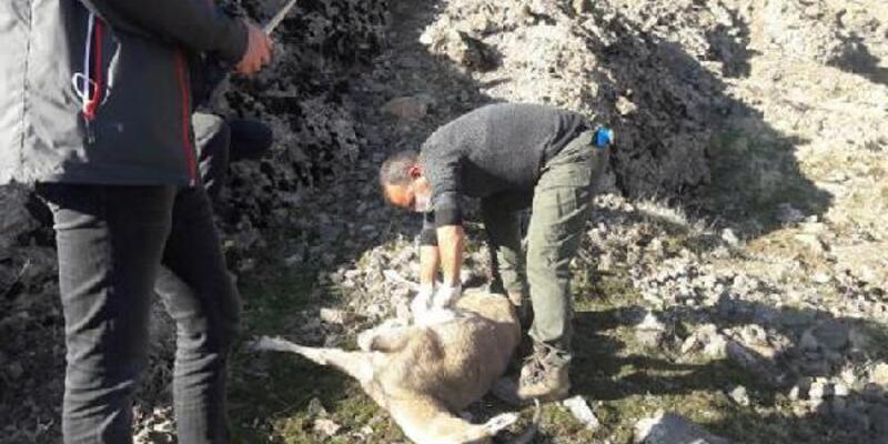 Koruma altındaki 7 yaban keçisi ölü bulundu