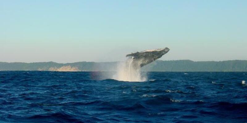 Fin balinasının söylediği şarkılar okyanus tabanını haritalamada kullanılabilir