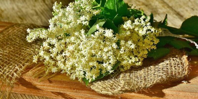 Mürver Çiçeği Nedir, Faydaları Nelerdir? Mürver Çiçeği Hangi Hastalıklara İyi Gelir?