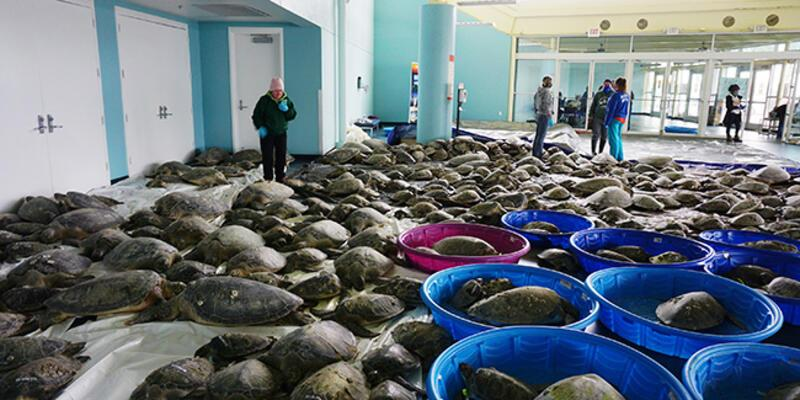 Teksas'ta binlerce deniz kaplumbağası soğukta donmaktan kurtarıldı