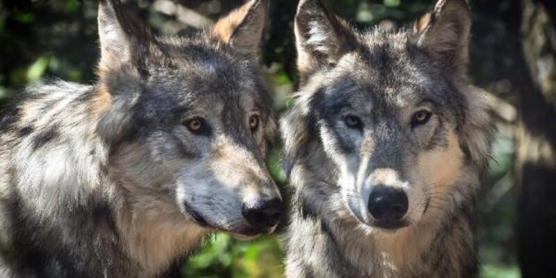 ABD'de gri kurt katliamı: 60 saatte 216 kurt öldürüldü