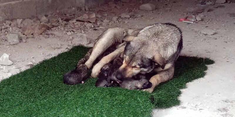 Yağmurlu havada doğum yapan köpek ile 10 yavrusuna mahalleli sahip çıktı