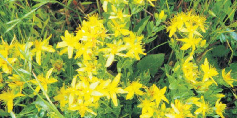 Sarı kantaron nedir, ne demek? Sarı Kantaron çayı faydaları neler, nasıl yapılır?