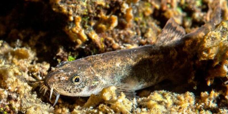 Van'ın ikinci balık türü tescillendii