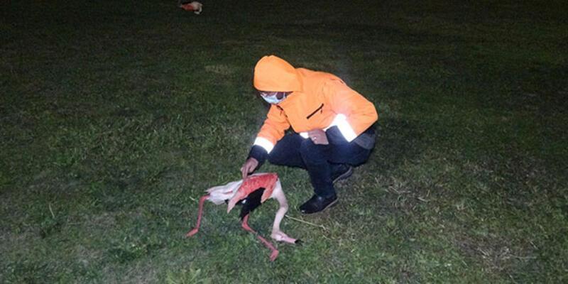 İzmir'de 9 flamingonun şüpheli ölümü! Soruşturma başlatıldı