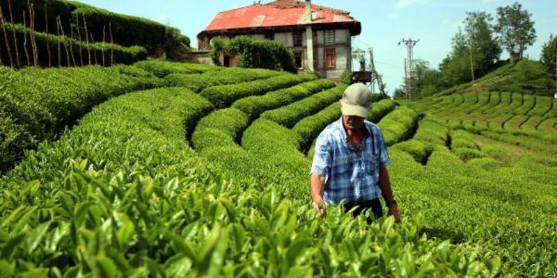 Çay tarımında 83 yıl sonra değişim başlıyor