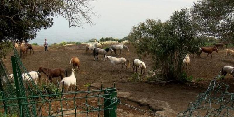 Adalar'dan Hatay'a gönderilen 99 atın kaybolduğu iddiasına çifte soruşturma