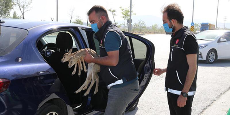 Uyuşturucu operasyonunda durdurulan otomobilde iki ceylan yavrusu bulundu