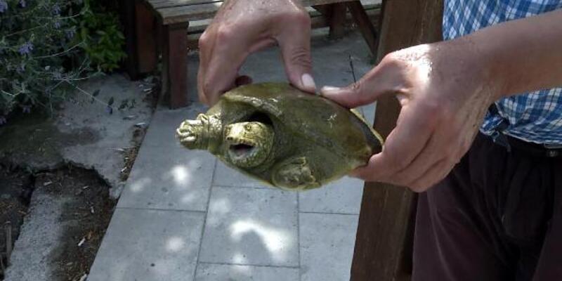 Nesli tükenmek üzere olan Fırat Kaplumbağası Beylikdüzü'nde bulundu