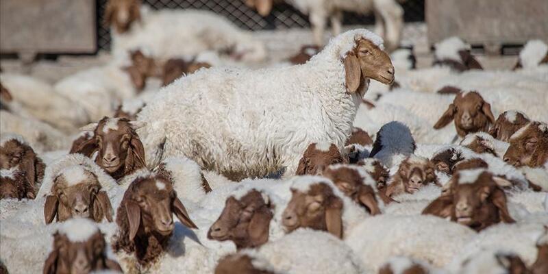 Anaç koyun ve keçi için destek ödemesi başlıyor