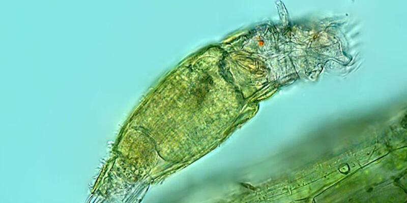 Sibirya'da keşfedildi: Donmuş tabakadaki mikroskobik canlı 24 bin yıldır hayatta