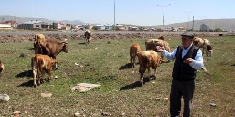 Ardahan'da hayvanlar, kuraklık nedeniyle ot bulamıyor