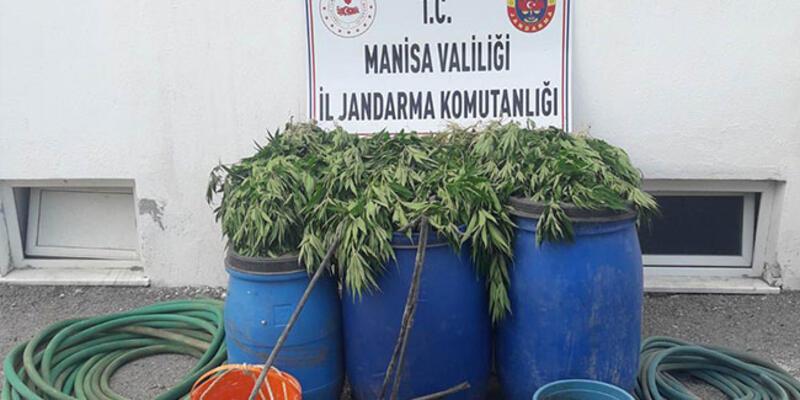 Manisa'da 475 kök kenevir bitkisi ele geçirildi