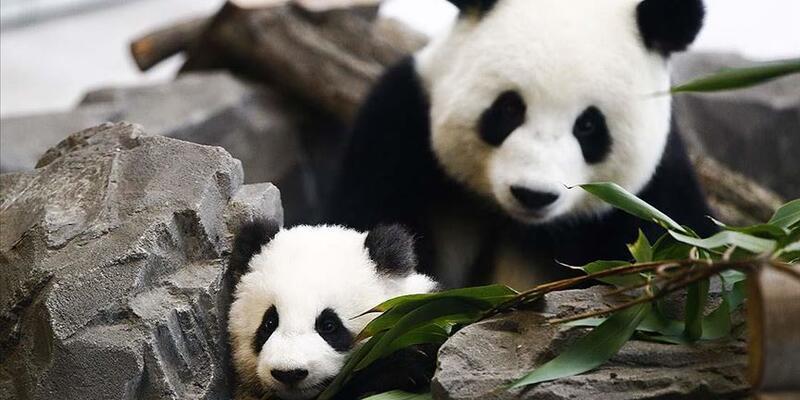"""Çin dev pandaların """"tehlike altındaki tür"""" sınıflandırmasından çıkarıldığını bildirdi"""