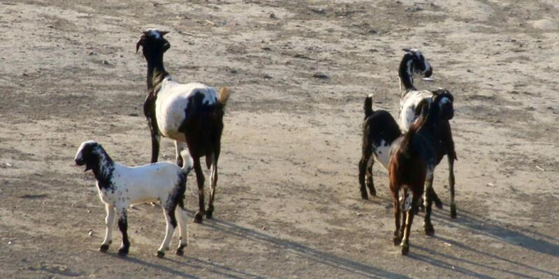 Kurbanlık Hayvanlar Kaç Yaşında Kesilir? Kurbanlık Hayvanın Yaşı Nasıl Anlaşılır?