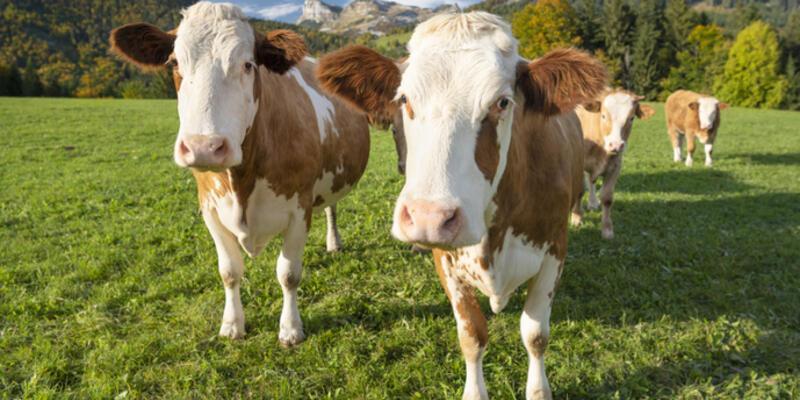 Kurbanlık Hayvan Dişi Mi Olmalı Erkek Mi? Süt Veren Hayvanlar Kurbanlık Olur Mu?