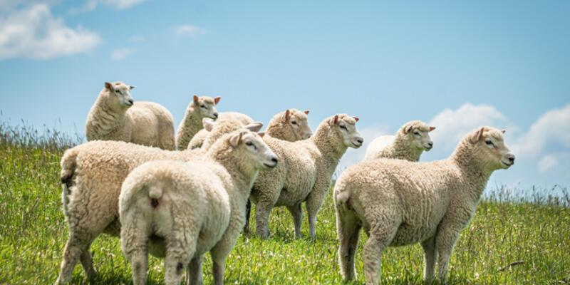 Kuyruksuz Ya Da Kuyruğu Kesik Koyunlar Kurban Edilebilir Mi?