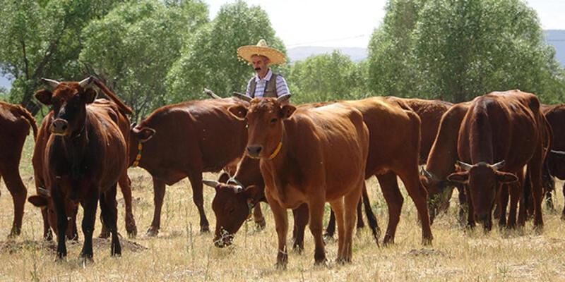 3 bin 500 yıllık 'Doğu Anadolu Kırmızısı' sığır ırkı korumaya alındı