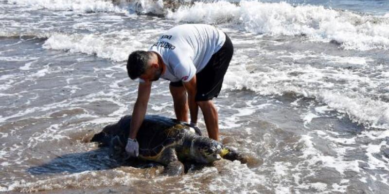 Nesli tükenmekte olan yeşil deniz kaplumbağası ölü bulundu