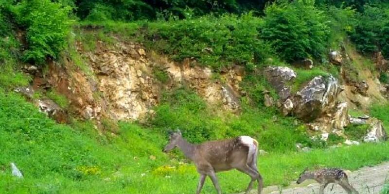 Bursa'da kızıl geyikler fotokapanda