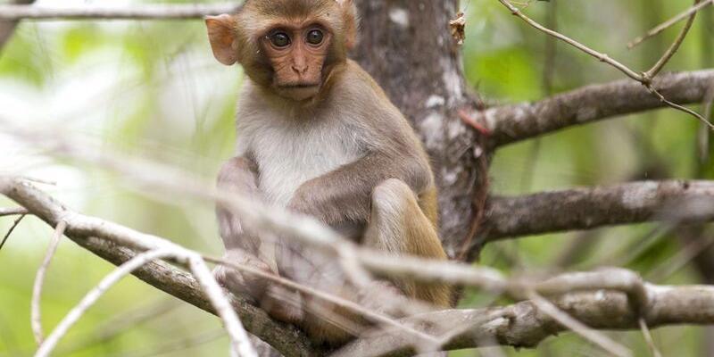 Son dakika: Monkey B virus nedir, panik yarattı!Monkey B virüsü belirtileri nelerdir? Monkey B virüsü ölümcül mü? BV virüsü hakkında detaylar!