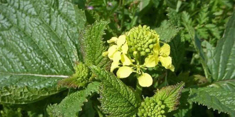 Hardal otu nasıl bir bitkidir, ne işe yarar?