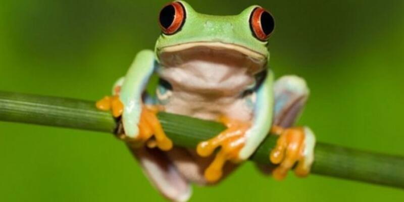 Rüyada Kurbağa Görmek Ne Anlama Gelir? Rüyada Kurbağanın Üzerine Zıplaması Neye İşarettir?