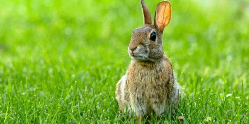 Rüyada Tavşan Görmek Ne Anlama Gelir? Rüyada Tavşan Sevmek Nasıl Yorumlanır?