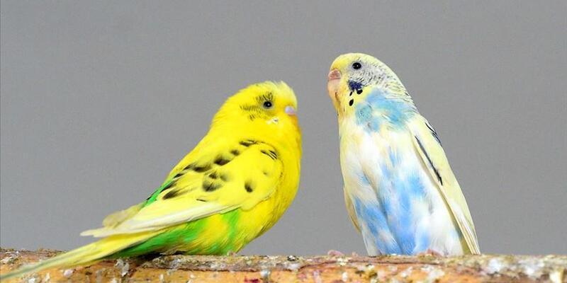 Muhabbet Kuşu İsimleri - Erkek Ve Dişi Muhabbet Kuşlarına Ne İsim Konulabilir?