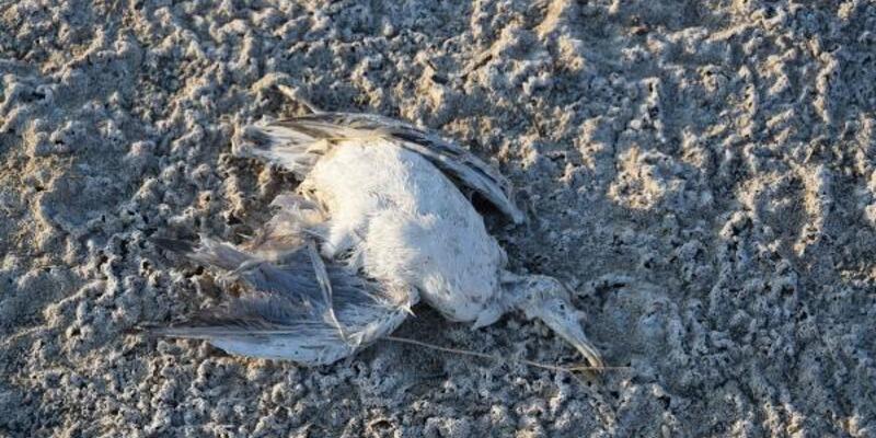 Düden Gölü'nde yavru martı ölümü