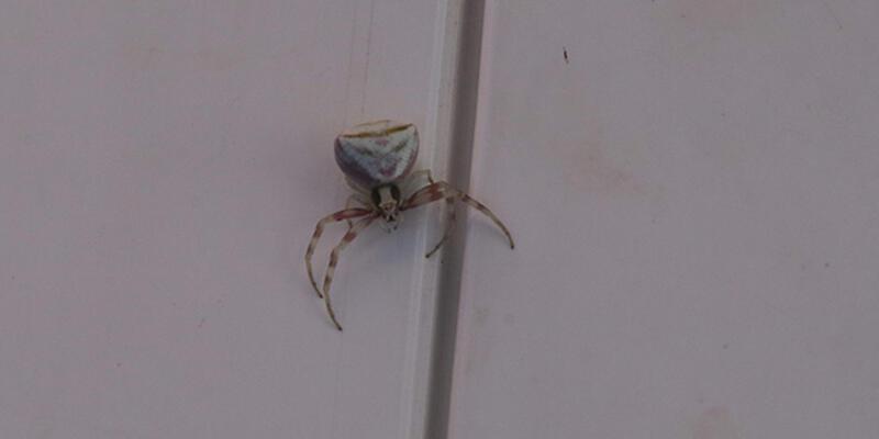 Yozgat'ta köşeli yengeç örümceği görüntülendi