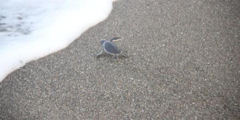 Yavru deniz kaplumbağalarının denize yolculuğu başladı