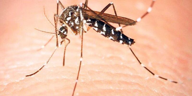 Yeni tehlikenin adı: Asya kaplan sivrisineği