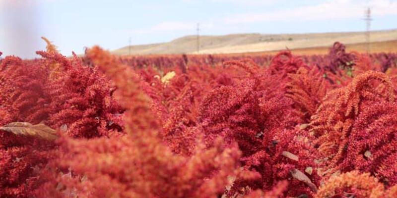 Antikanserojen içeren amarant bitkisinin hasadı başladı