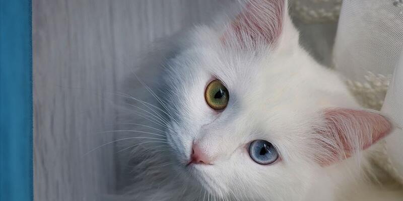 Helsinki Üniversitesi'nin Van kedisi araştırmasına tepki