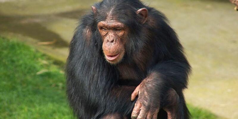 Rüyada Maymun Görmek Ne Anlama Gelir? Rüyada Maymundan Kaçmak Nasıl Yorumlanır?