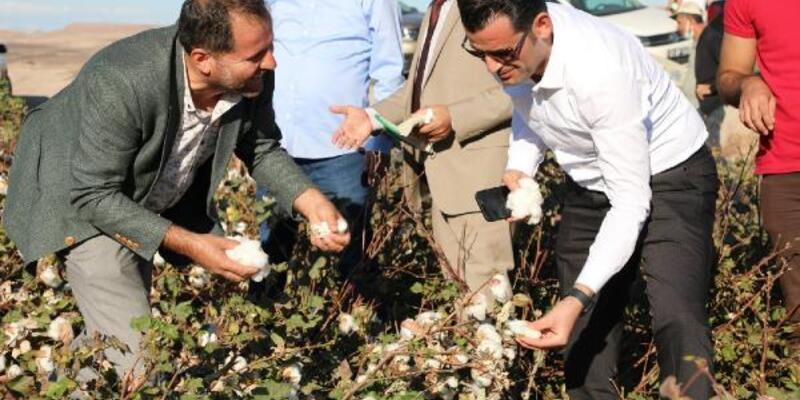 Diyarbakır'da 'beyaz altın' pamuk hasadı başladı