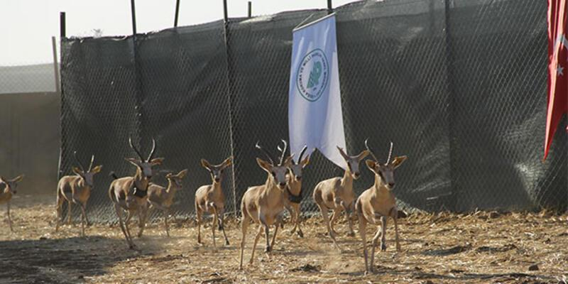 Cudi Dağı'na 'gazella gazella' türü 40 ceylan bırakıldı