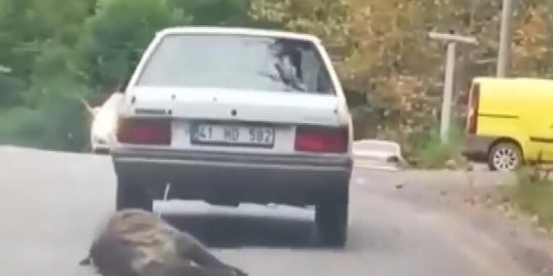 Domuzu otomobilinin arkasına bağlayıp sürükledi