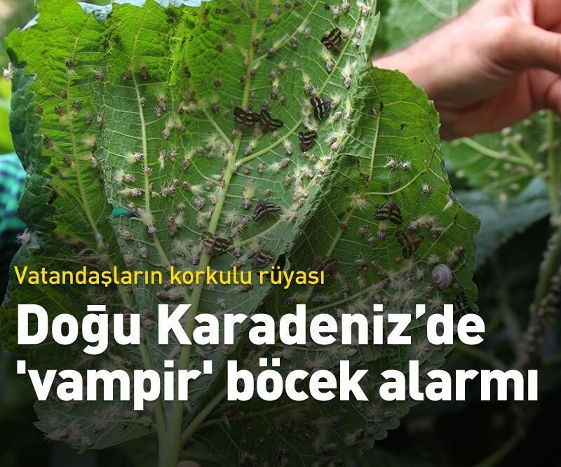 Son dakika: Doğu Karadeniz'de 'vampir' böcek alarmı