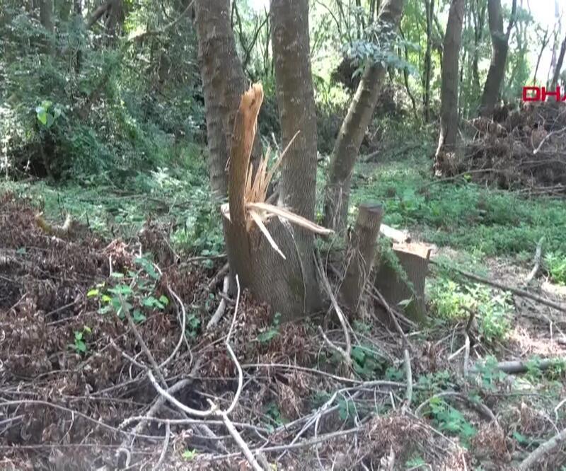 Sit alanında ağaç talanı