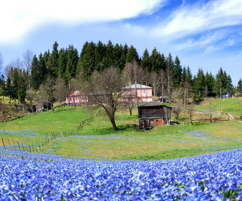 Endemik mavi yıldız çiçekleri tehdit altında