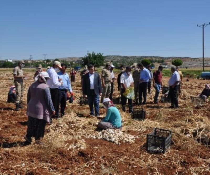 Besni'de sarımsak hasadı