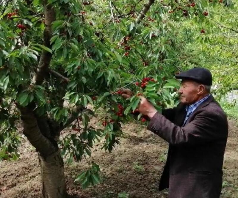 90 yaşındaki Abdullah dede, bahçesinde kiraz ve ceviz yetiştiriyor
