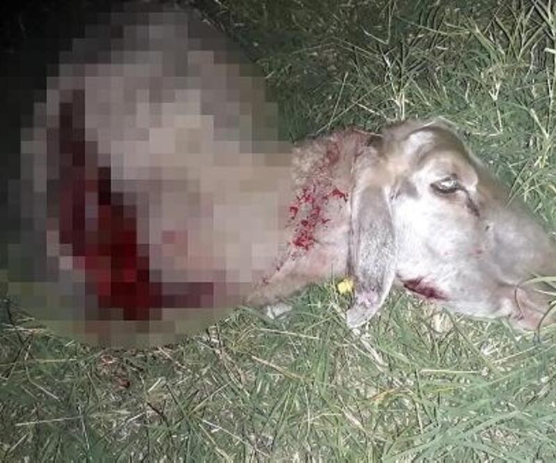 Hayrabolu'da kurtlar, koyun sürüsüne saldırdı