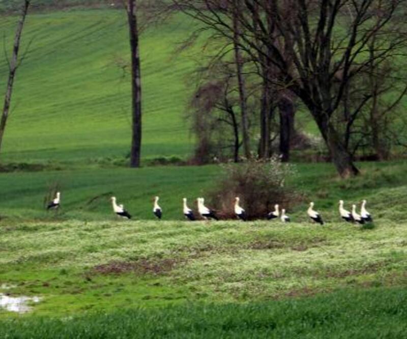 Tekirdağ'a göç eden leylekler soğuktan etkilendi