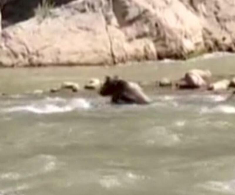 Suya kapılan ayıyı rafting ekibi kurtardı