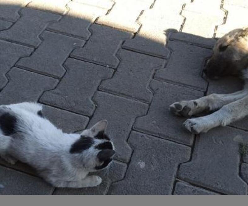 Yavru kedi ile köpeğin dostluğu hayran bıraktı