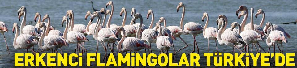 Erkenci flamingoları Türkiye'de